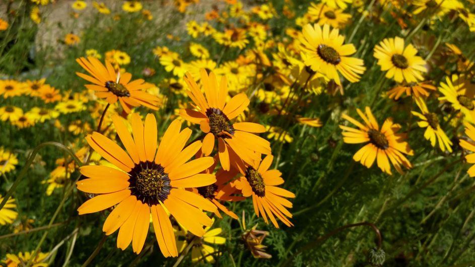 качестве как выглядит цветок урсиния посмотреть фото посадка